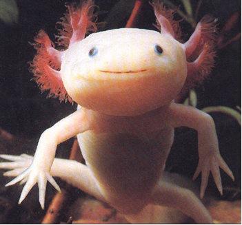 axolotl-3.jpg
