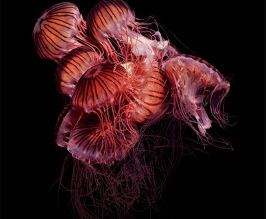 meduse-Chrysaora-achlyos2.jpg