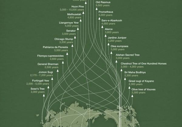 infographie-record-arbre-age-07.jpg