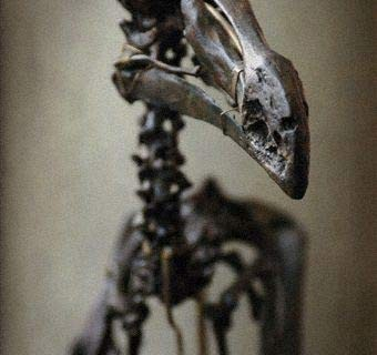 Dodo-dronte-oiseau-01.jpg