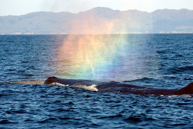 Une baleine fait un arc en ciel