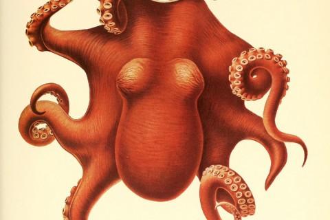 dessin-illustration-poulpe-cephalopode-01.jpg