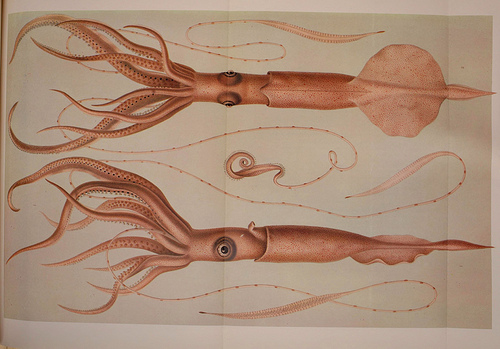 dessin illustration poulpe cephalopode 14 Dessins et illustrations de céphalopodes  bonus