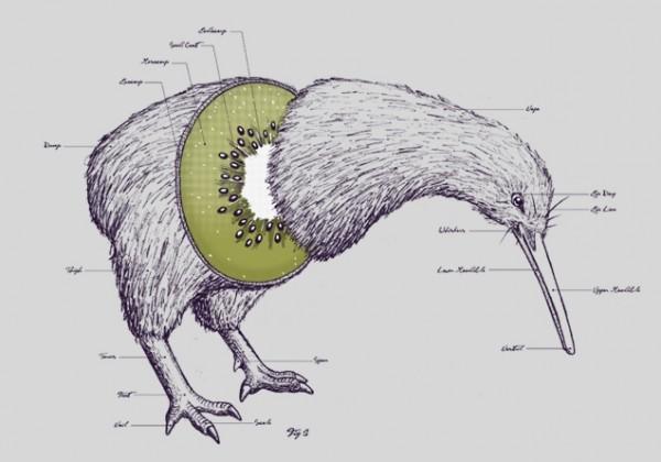 anatomie-kiwi-oiseau-fruit.jpg