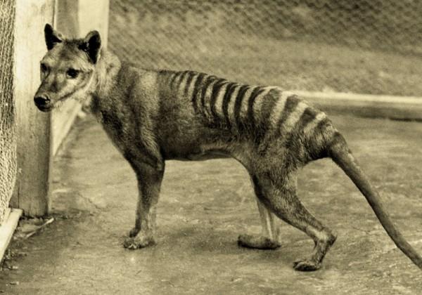 Tigre-de-Tasmanie.jpg