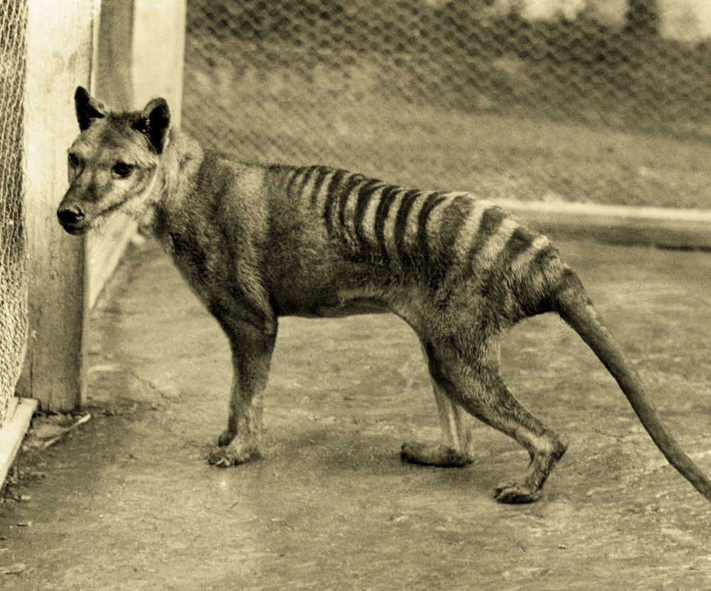 Tigre de tasmanie était un mammifère marsupial carnivore de la
