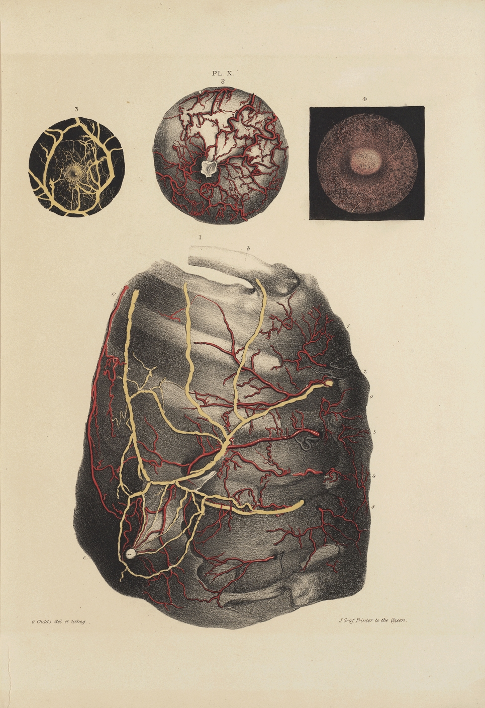 anatomie de la glande mammaire pdf