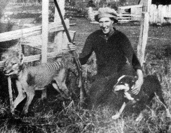 dernier thylacine sauvage Le tigre de Tasmanie