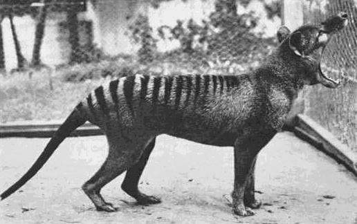 tigre tasmanie thylacine Le tigre de Tasmanie