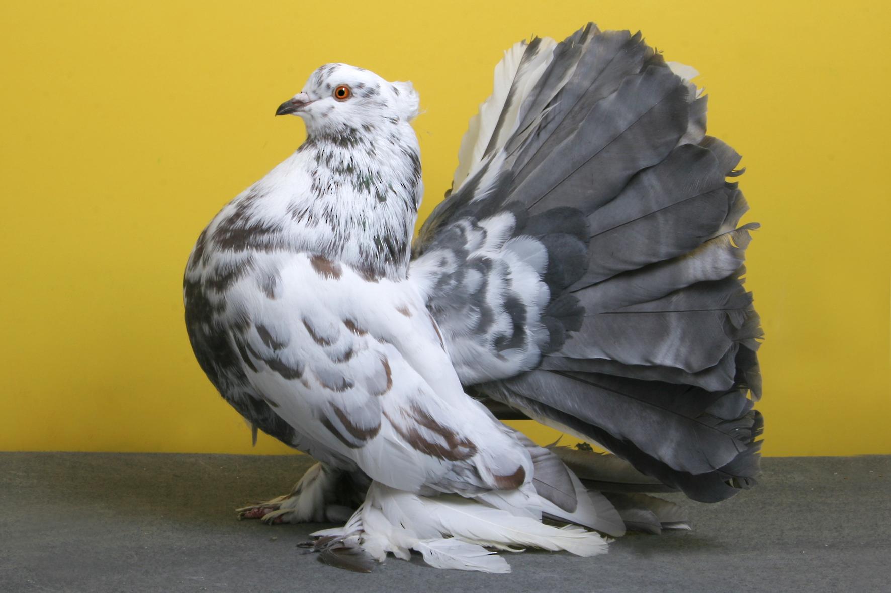 Et si la Snes mini devenait réalité - Page 2 Pigeon-concours-beaute-champion-oiseau-01