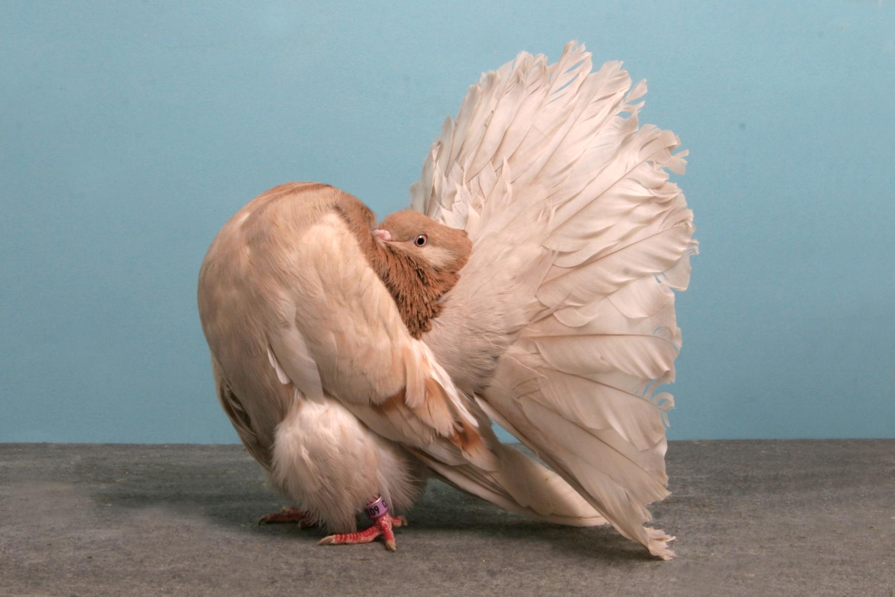 pigeon concours beaute champion oiseau 10 Des pigeons de compétition