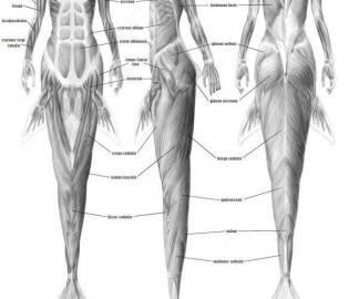 anatomie-sirene.jpg
