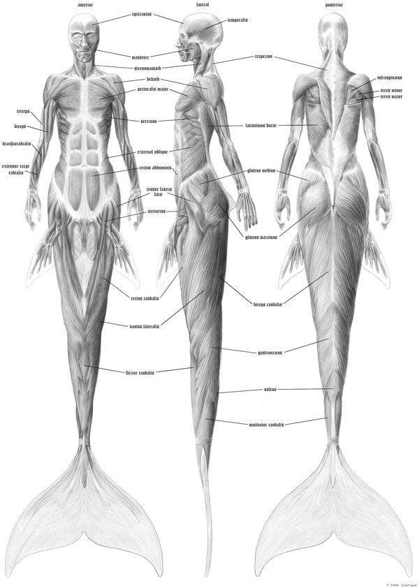 Charmant Zeichnung Der Menschlichen Anatomie Für Anfänger ...