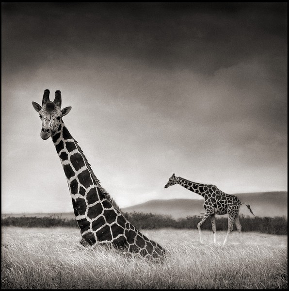 les animaux africains de nick brandt. Black Bedroom Furniture Sets. Home Design Ideas