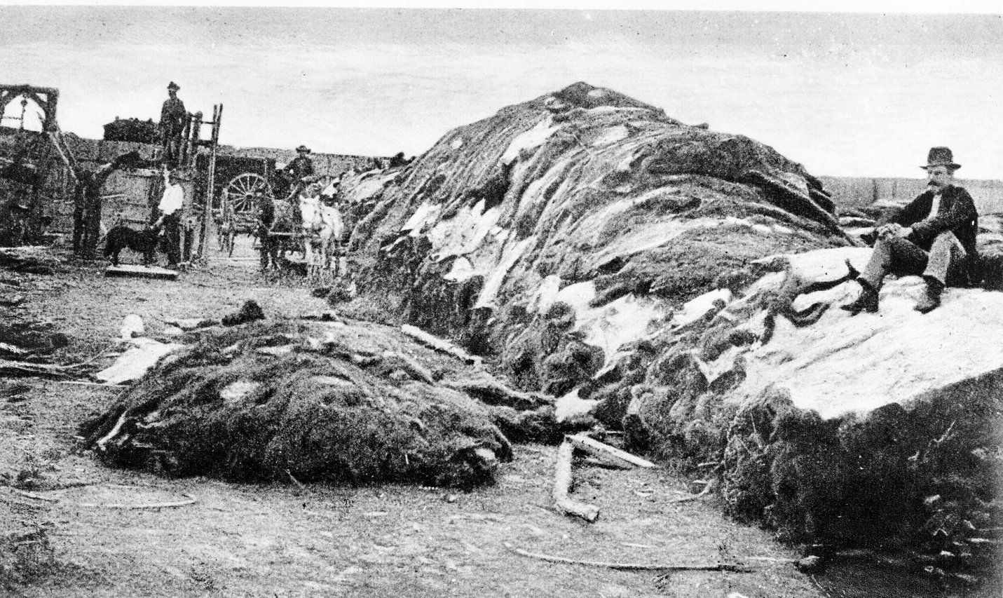 fourrure bison massacre Lextermination du bison américain