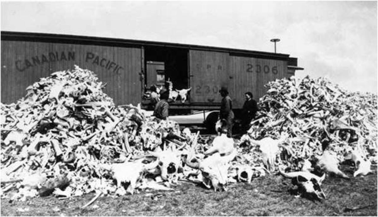 vagon fourrure bison Lextermination du bison américain