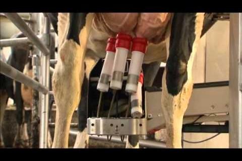 Comment traire une vache avec un robot