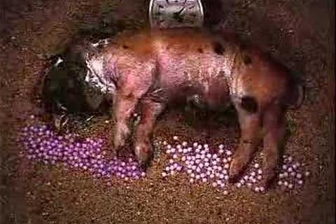 La décomposition d'un bébé cochon