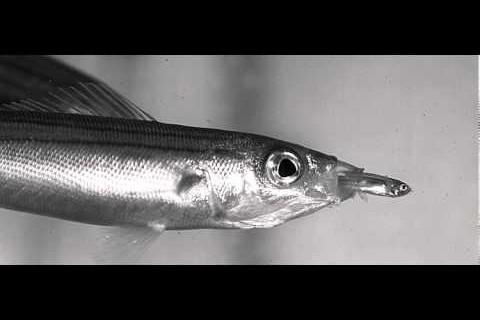Des petits poissons mangés par des gros au ralenti