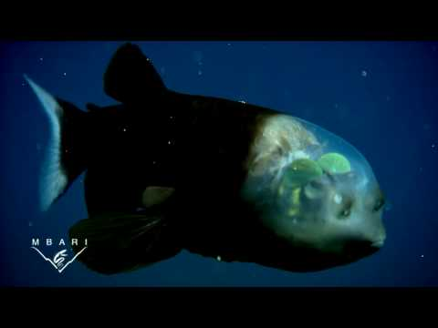 Macropinna microstoma : le poisson qui a une tête transparente