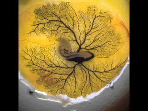 Le coeur battant d'un embryon de poussin