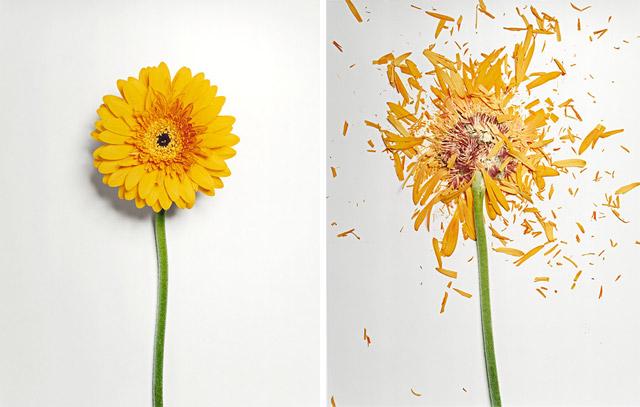fleur azote liquide casse 02 Des fleurs plongées dans de lazote liquide brisées  photographie bonus art