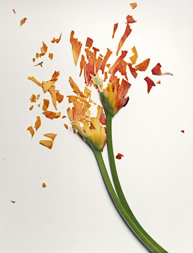 fleur azote liquide casse 03 Des fleurs plongées dans de lazote liquide brisées  photographie bonus art
