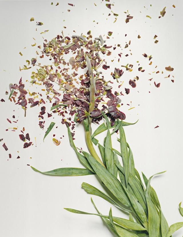 fleur azote liquide casse 05 Des fleurs plongées dans de lazote liquide brisées  photographie bonus art