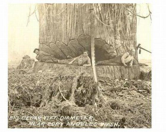 gros arbre coupe 08 Couper des gros arbres