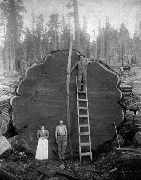 gros arbre coupe 09 Couper des gros arbres