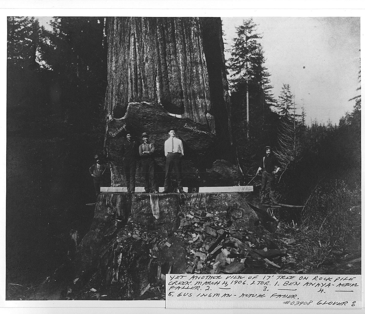 gros arbre coupe 12 Couper des gros arbres