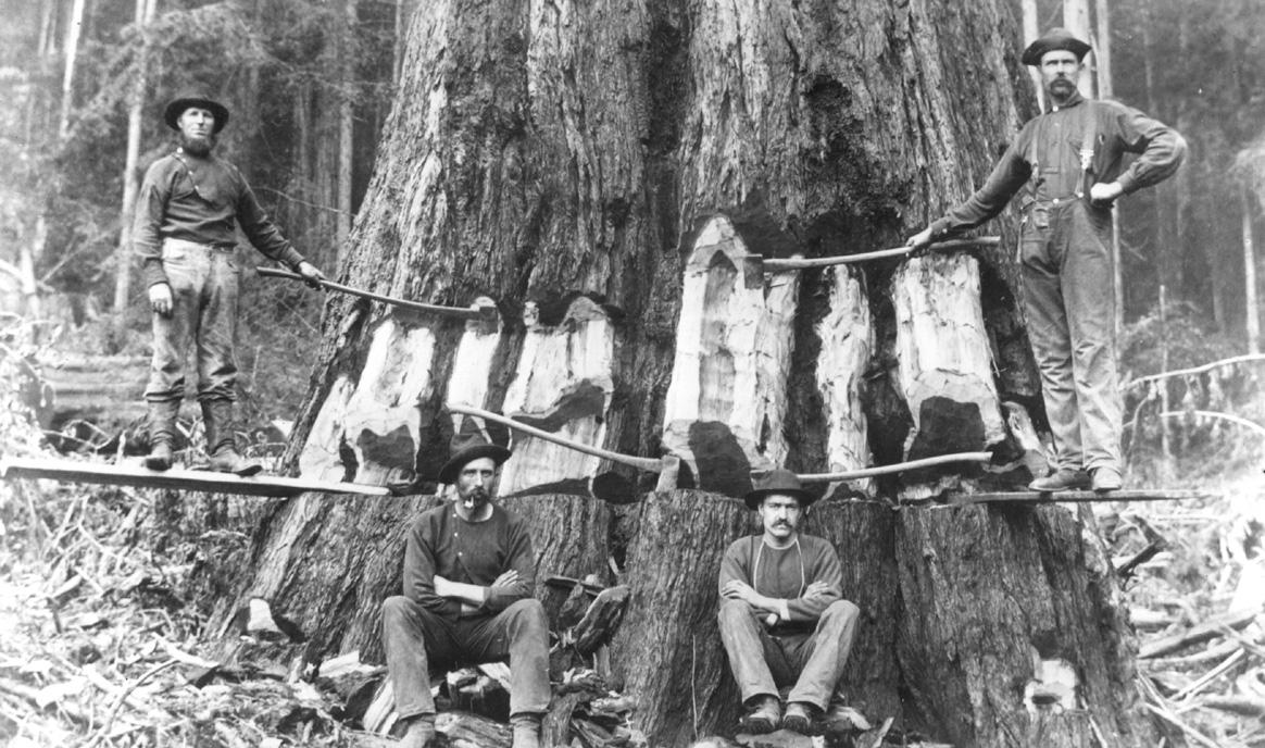 gros arbre coupe 13 Couper des gros arbres