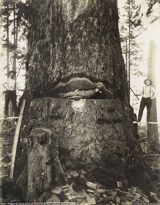 gros arbre coupe 17 Couper des gros arbres