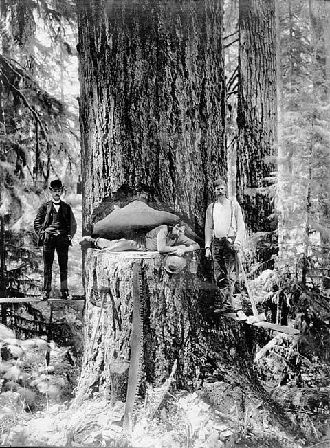 gros arbre coupe 19 Couper des gros arbres