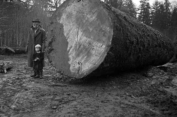 gros arbre coupe 33 Couper des gros arbres