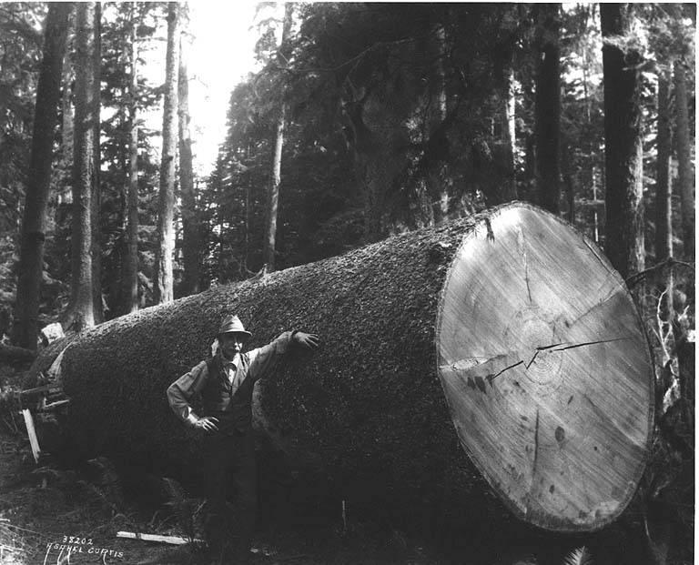 gros arbre coupe 34 Couper des gros arbres