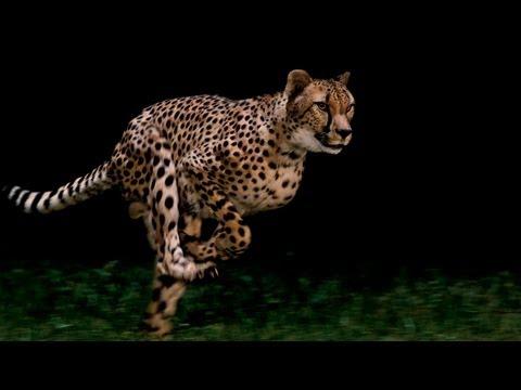 Un guépard qui court au ralenti