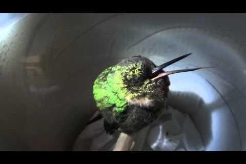 Un colibri qui ronfle