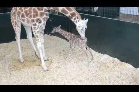Les premiers pas d'une girafe