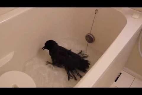 Un corbeau prend un bain