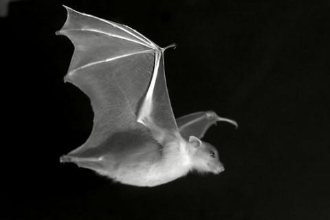 Une aile de chauve-souris robotique