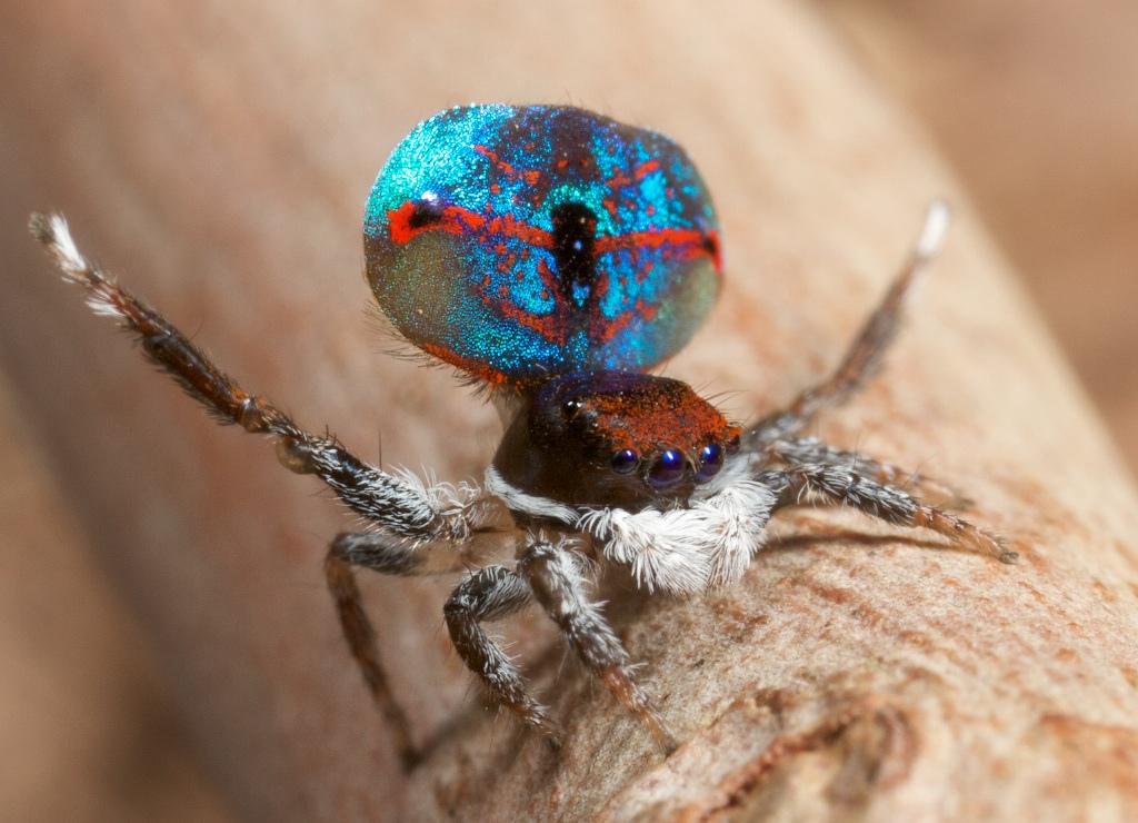 hyperimage les araign es paon sauteuses. Black Bedroom Furniture Sets. Home Design Ideas