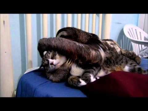 Un paresseux qui fait des calins à un chat