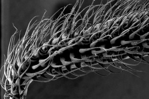 Langue de chauve-souris au microscope électronique.