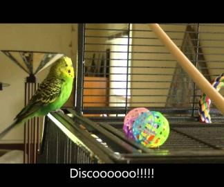 Disco le perroquet