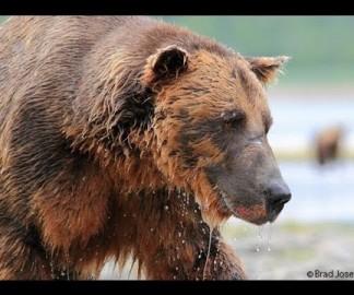 Un grizzli et une GoPro