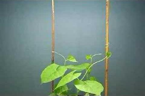 La circumnutation des plantes grimpantes