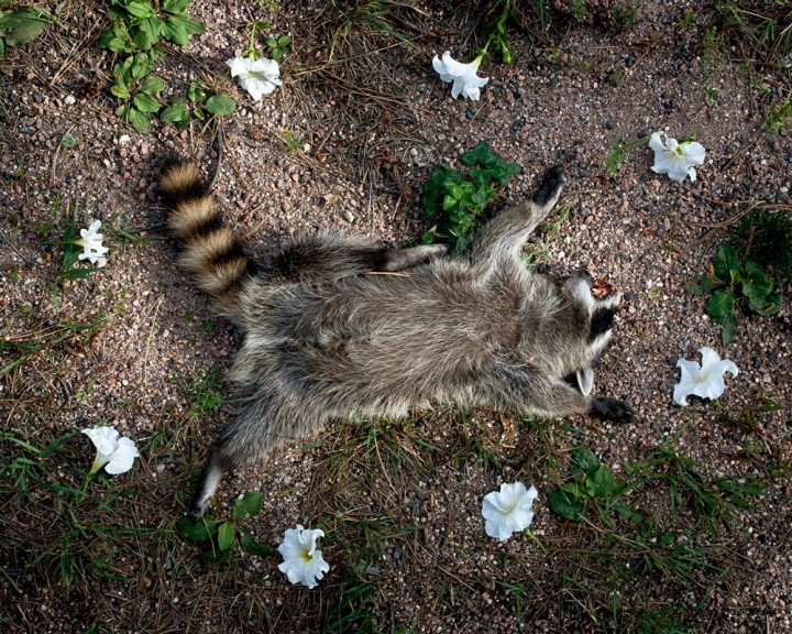 Raccoon, from the series At Rest