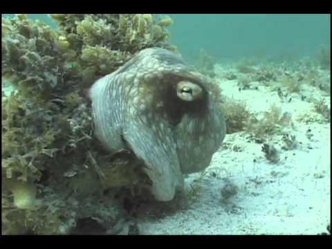 Un poulpe camouflé