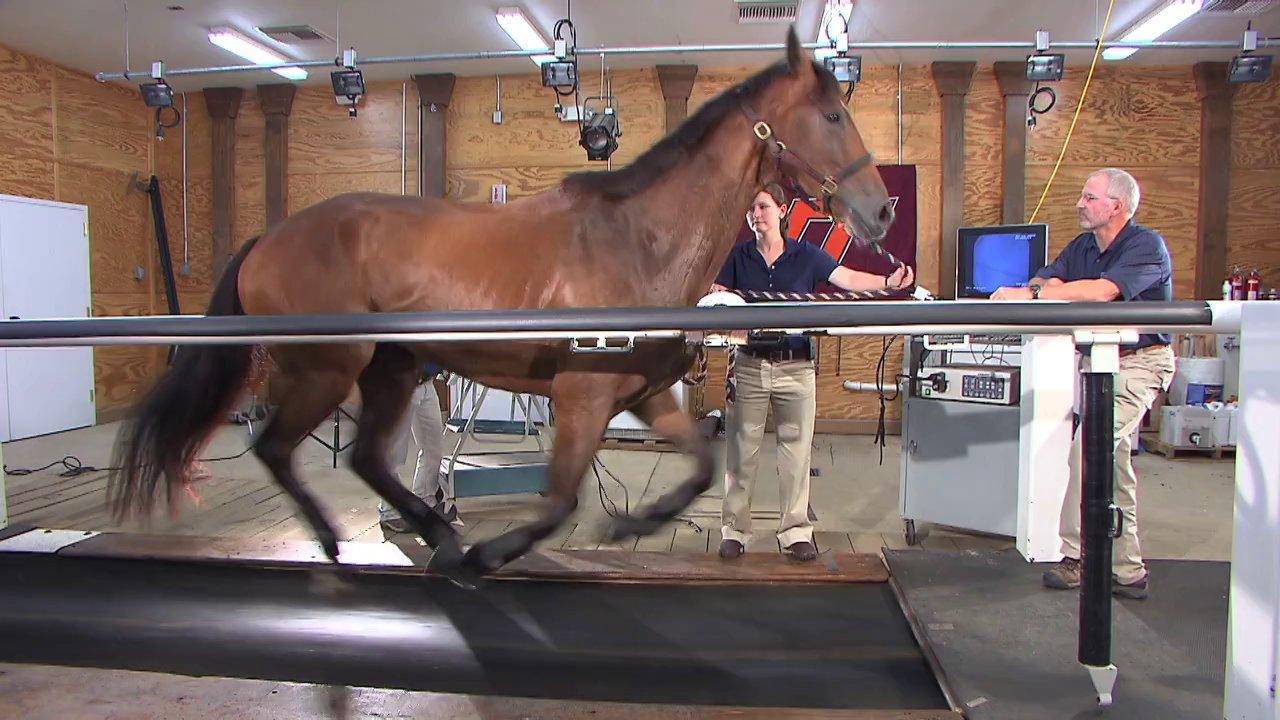 Un cheval sur un tapis roulant